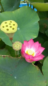 京都「知恩院」蓮の花