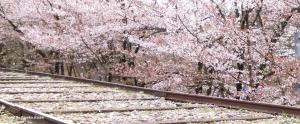 【コラム】桜と疎水とインクラインと。