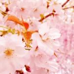 2018年京都桜旅~遅咲き8選~
