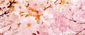 京都桜旅。2018